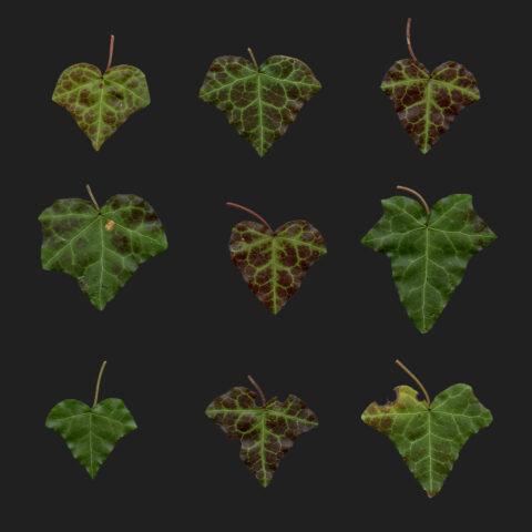 ive leaves atlas