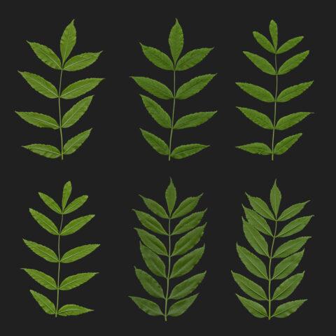 ash treaa fraxinus leaves atlas texture