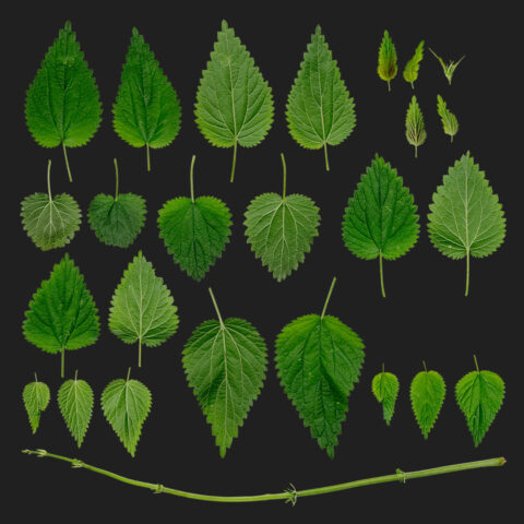 atlas nettle weed texture